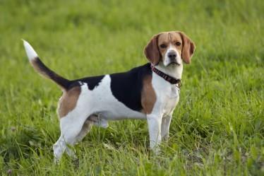 friends_beagle
