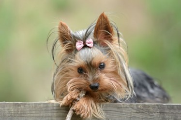 friends_yorkshire_terrier